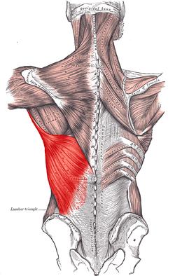 Lat Anatomy
